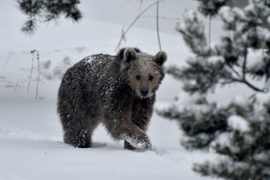 Kış uykusundan uyanan boz ayılar yiyecek arıyorlardı.