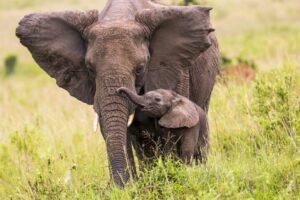 Afrika'da fil yaşam alanı azalıyor