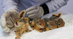 Ölümün yakınında bulunan 4 yavru sincap kurtarıldı