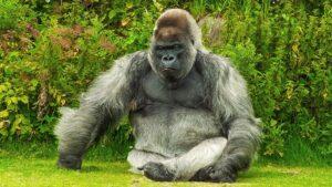 30 yıl içinde maymun habitatının yüzde 90'ı yok edilecek.