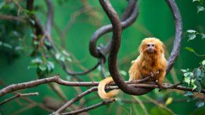Tamarin maymunlarının aksan taktığı ortaya çıktı